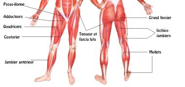 Muscles Ischios et Fessiers - Source [3]